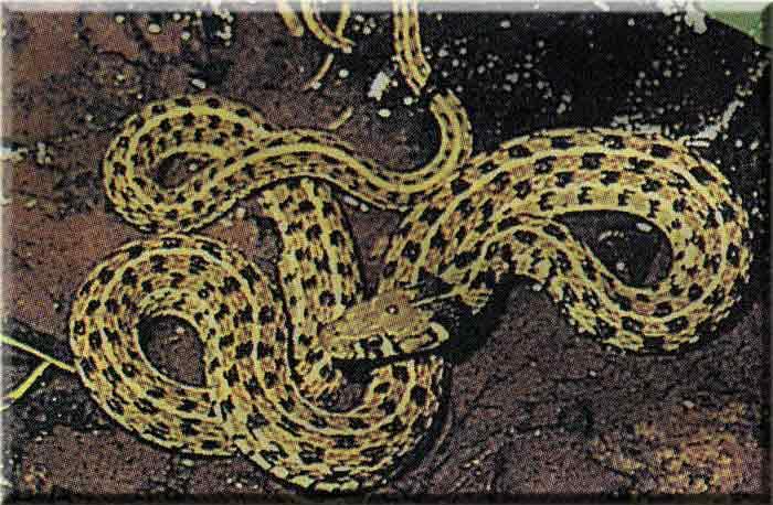 змея шахматная фото