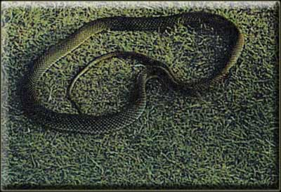 Желтобрюхий полоз (Coluber jugularis)