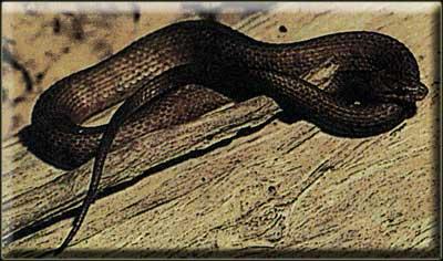 Полосатый уж (Nerodia fasciata)