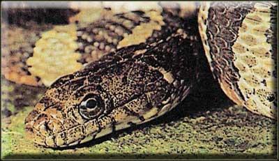 Северный американский уж (Nerodia sipedon)