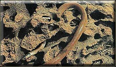 Капский многоножкоед (Aparallactus copensis)